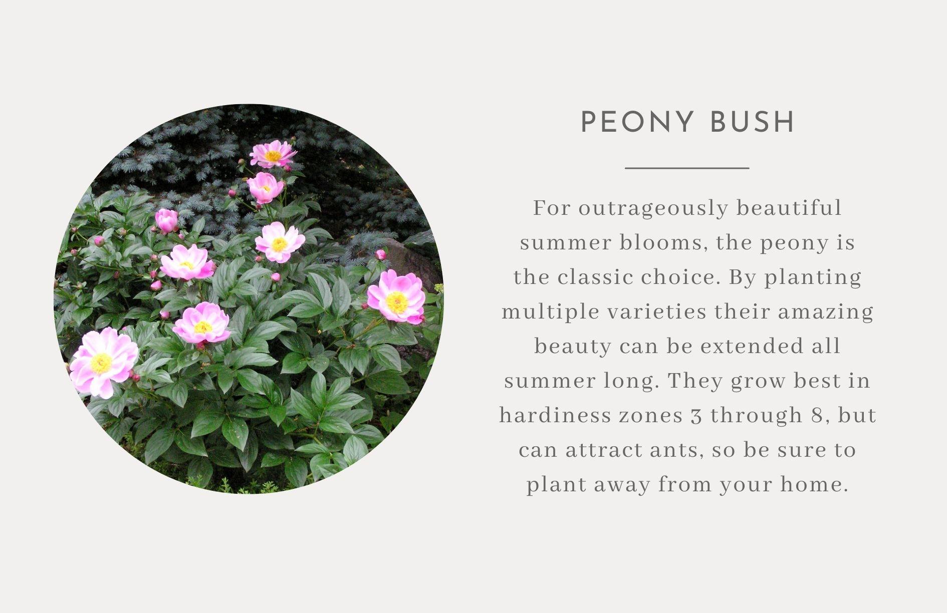 Peony bush