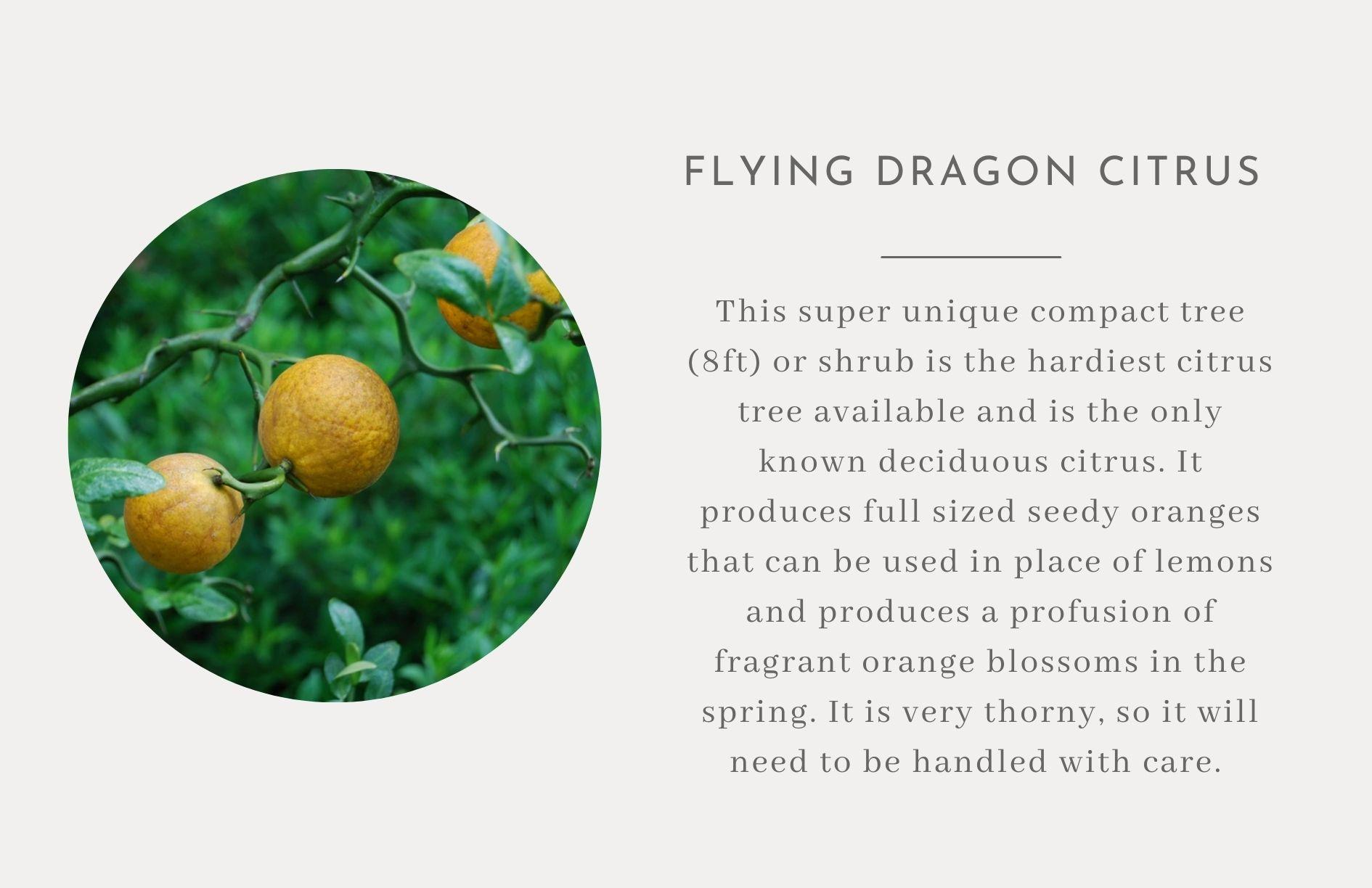 Flying dragon citrus bush - IHOD