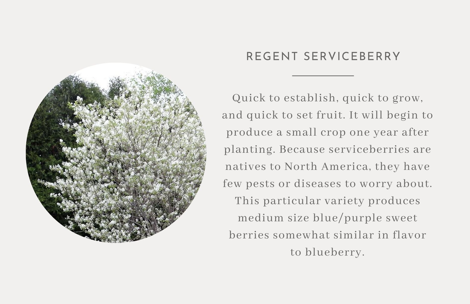 Regent Serviceberry- Edible trees and bushes