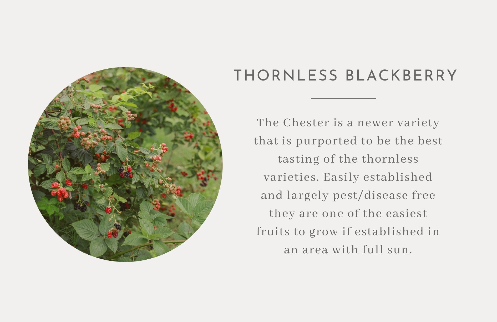 Thornless Blackberry - Edible trees and bushes