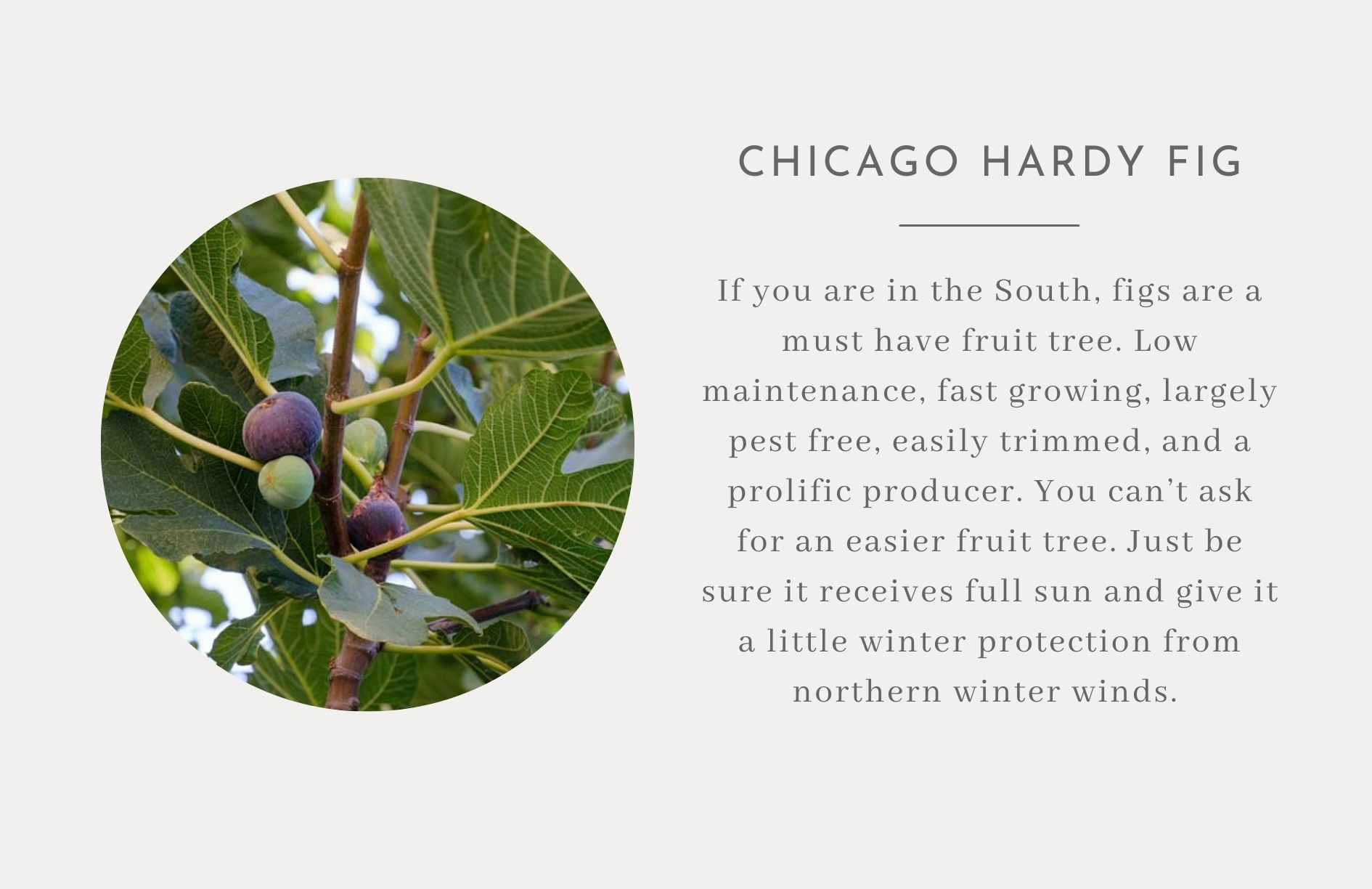 Chicago Hardy Plum - Edible trees and bushes