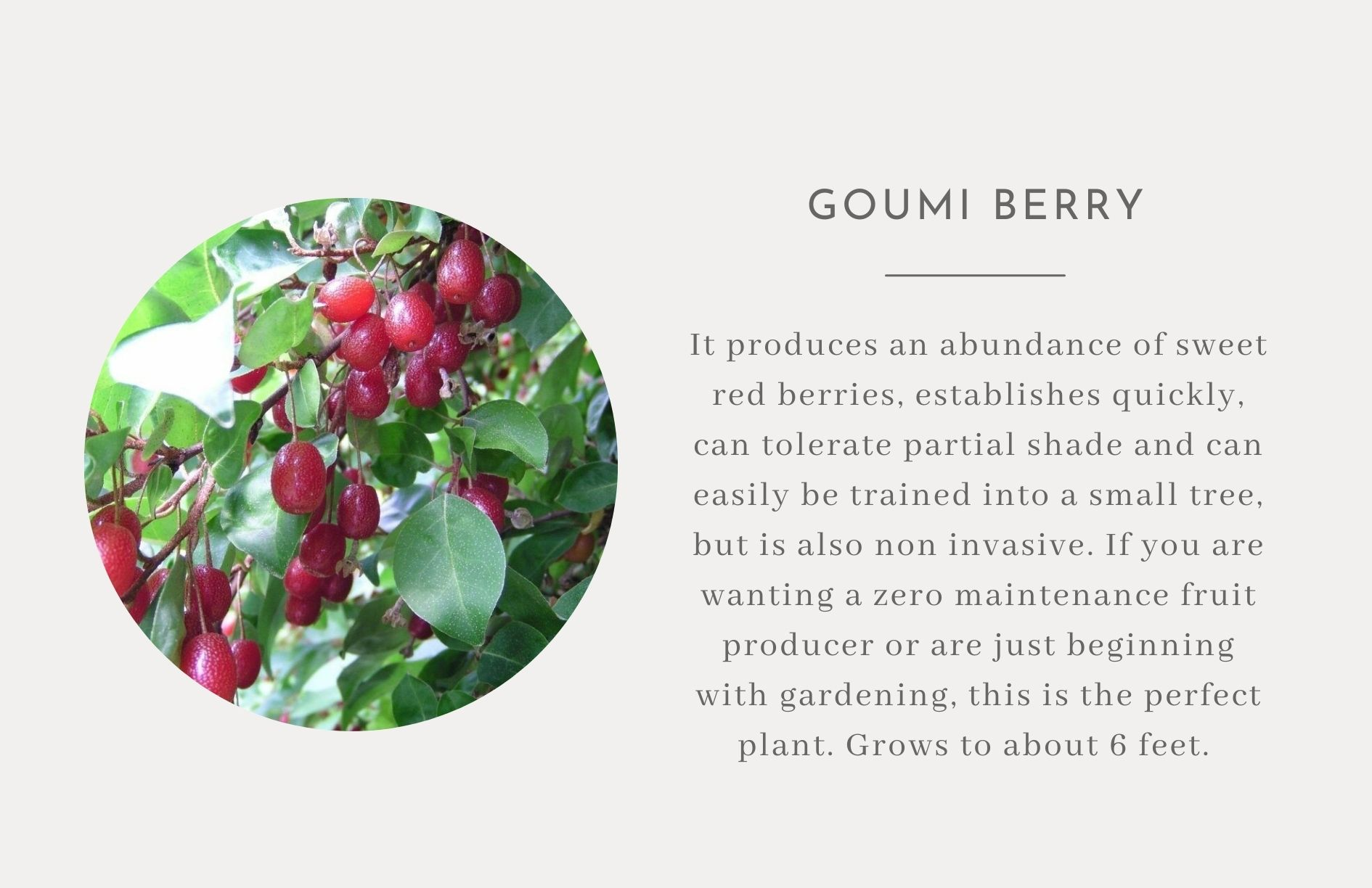 Goumi Berry - Edible trees and bushes