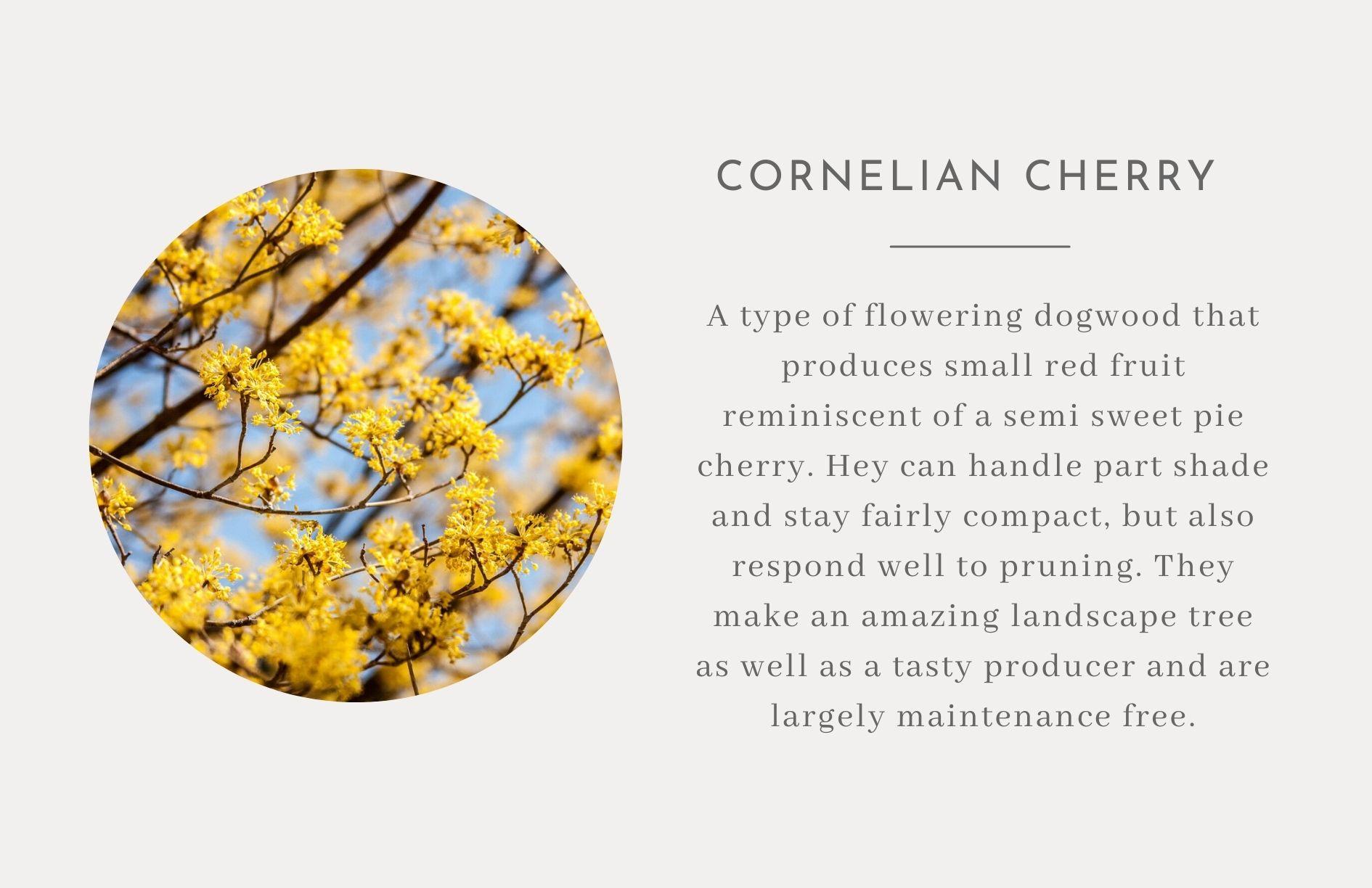 Cornelian Cherry - Edible landscape ideas
