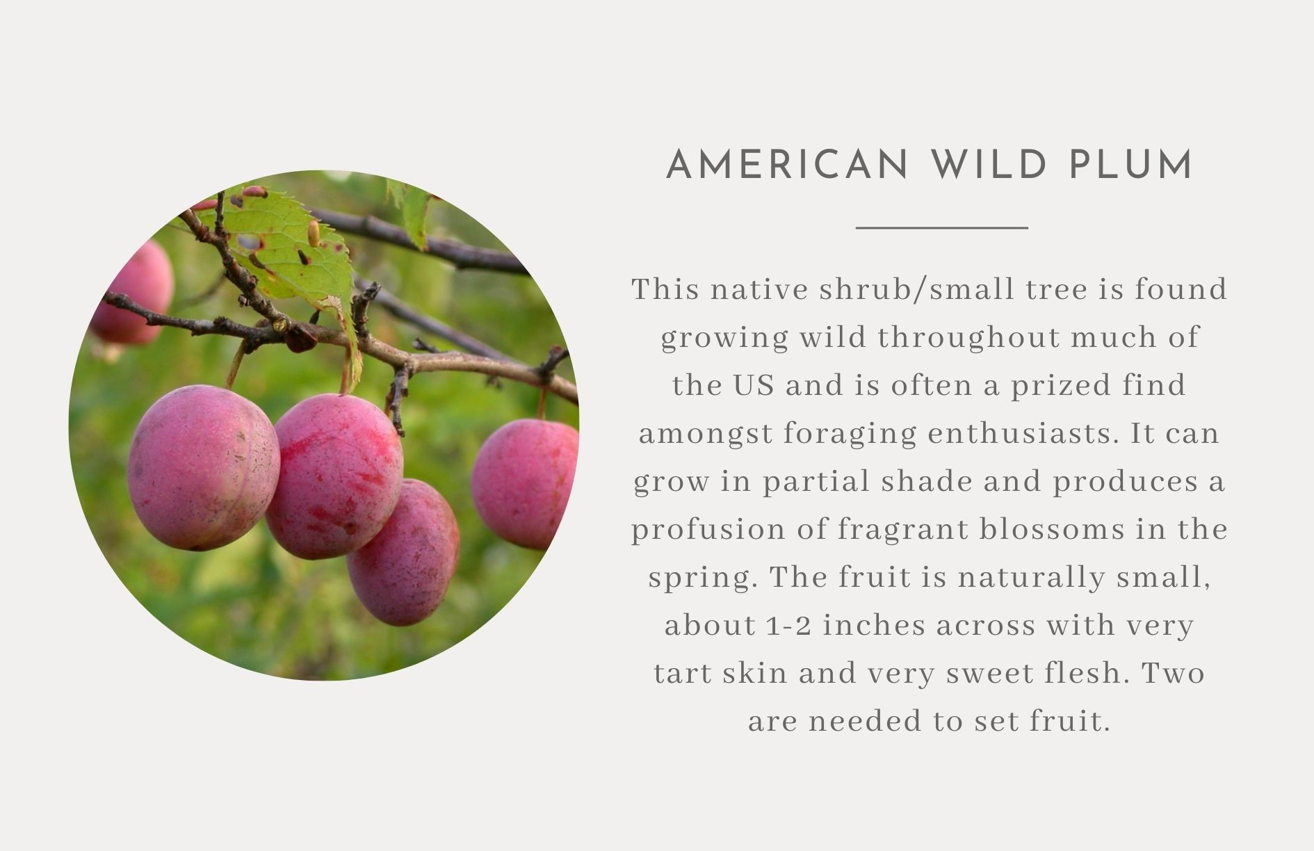American Wild Plum - Edible trees and bushes