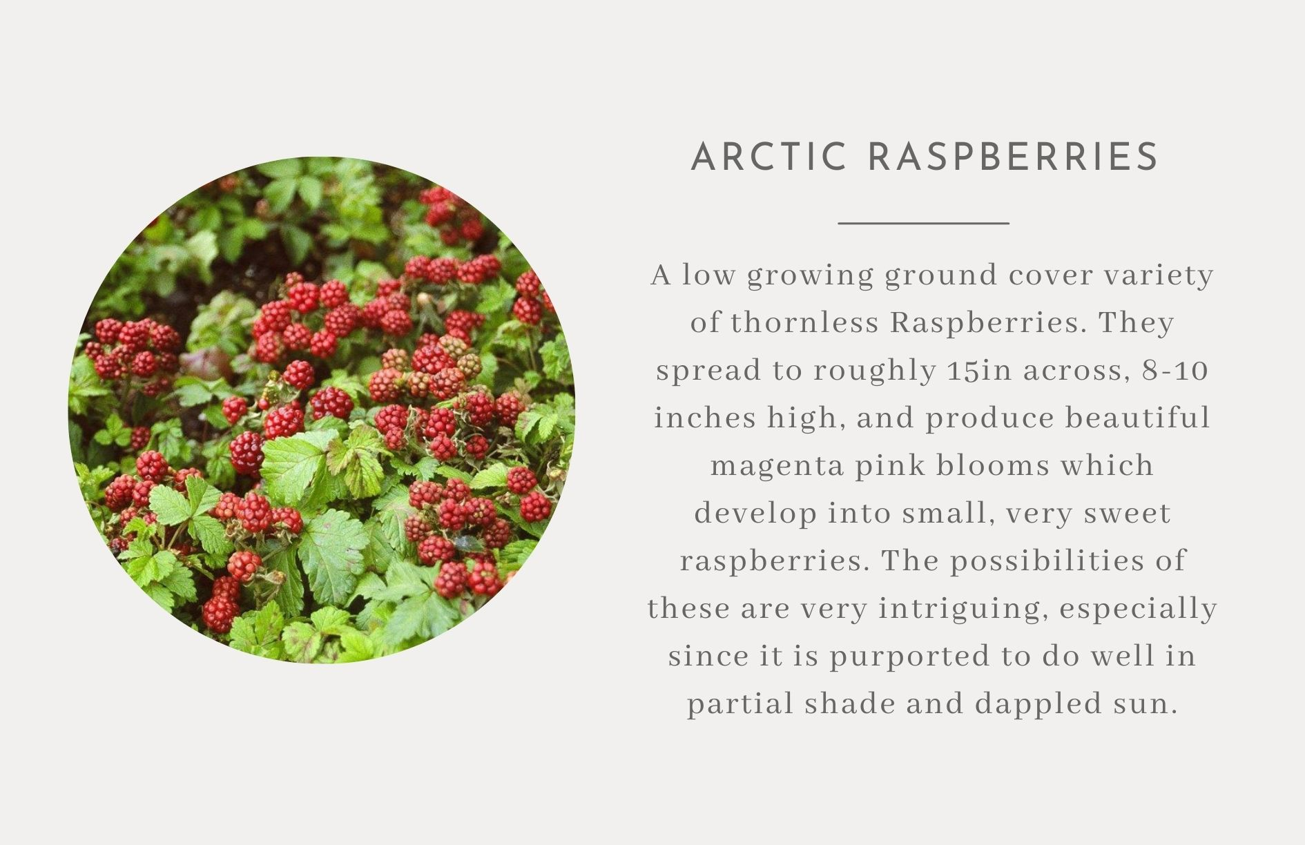 Arctic Raspberries - Edible landscape ideas