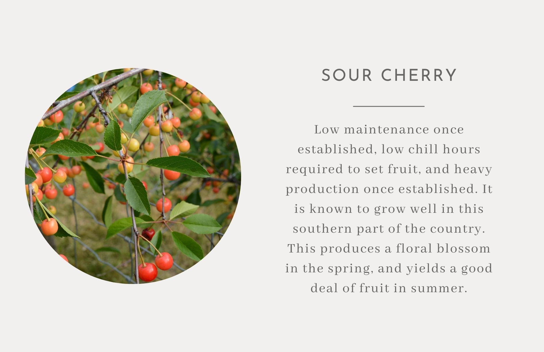 Sour Cherry - Edible trees and bushes